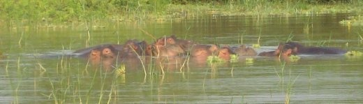 Hippos gather in the morning