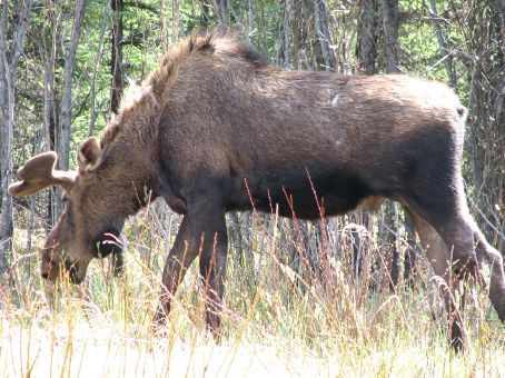 A moose doing what amoose does when he is not standing on the road