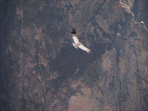 A Condor riding the thermals at Cruz del Condor