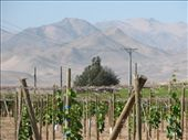Vineyards in the southern part of the Atacama just before i lost that crap Brasilian chain: by tpara, Views[169]