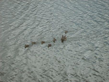 Ducks on the moat
