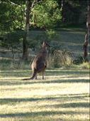 Australia Kangaroo: by treza, Views[329]