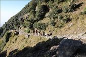 For Survival : This is the normal routine of the people who live in Mountain villages. They walk up and down long distances to fetch their grocery and other necessary things. Leading a very difficult life.: by triund, Views[81]