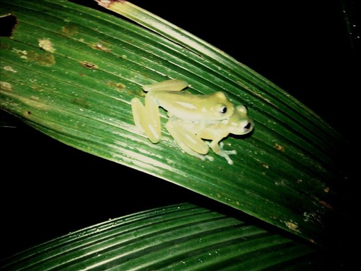 Panamalaista sammakkosessiota yöaikaan.