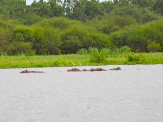 Do you see the hippos?