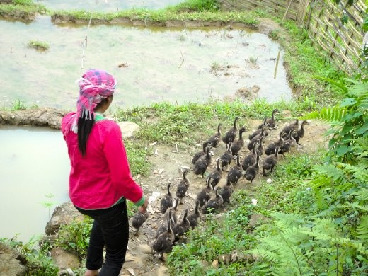 Leading the ducklings out to water