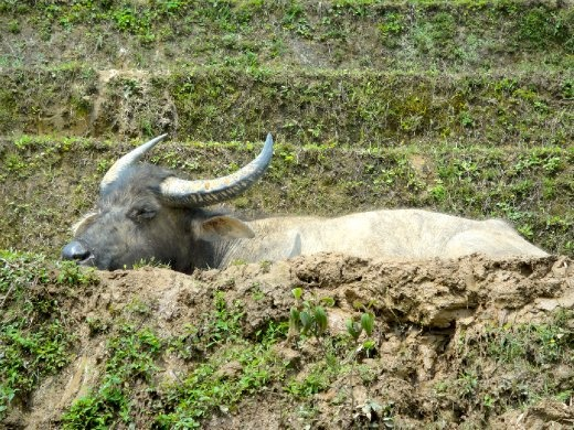 Buffalo resting in a rice grove that is filled with water