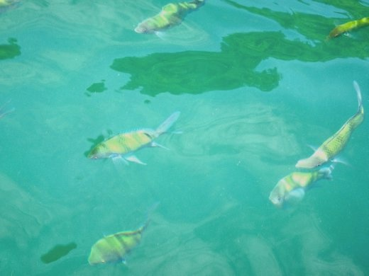 Swimming with the bright colored fish
