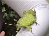 A leaf insect. You could never spot it on a tree.: by tweber, Views[212]