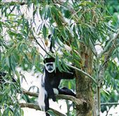 Black and white colobus monkey: by ugandaretrospective, Views[714]