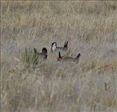 Lesser prarie chicken: by vagabonds, Views[341]