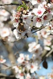 Almond blossom and almond: by vagabonds, Views[506]