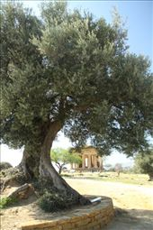 Ancient olive tree, Valley of the Temples, Agrigento: by vagabonds, Views[1207]