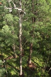 Tingle forest from the canopy: by vagabonds, Views[215]