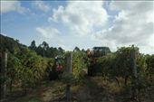Grape harvest, Australia style, Margaret River: by vagabonds, Views[163]