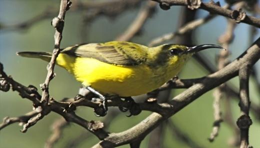 Olive-backed sunbird (F)