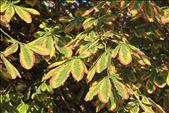 Chestnut leaves, Old Town Torun: by vagabonds, Views[336]