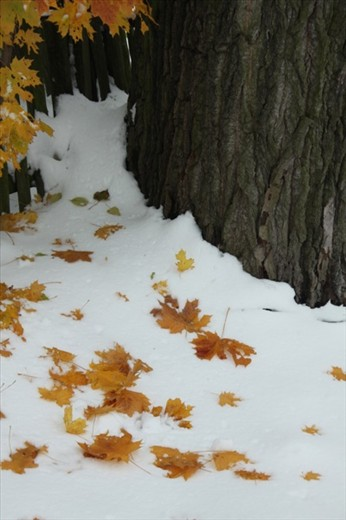 Maple leaves on snow