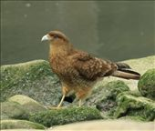 Chimango caracara: by vagabonds, Views[887]