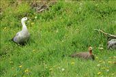 Upland geese, Parque Nacional Tierra del Fuego: by vagabonds, Views[638]