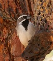 Black-thoated sparrow, Coronado National Fores: by vagabonds3, Views[93]