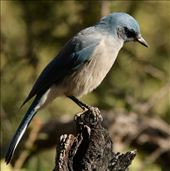Mexican jay, Chiricahua National Monument: by vagabonds3, Views[93]