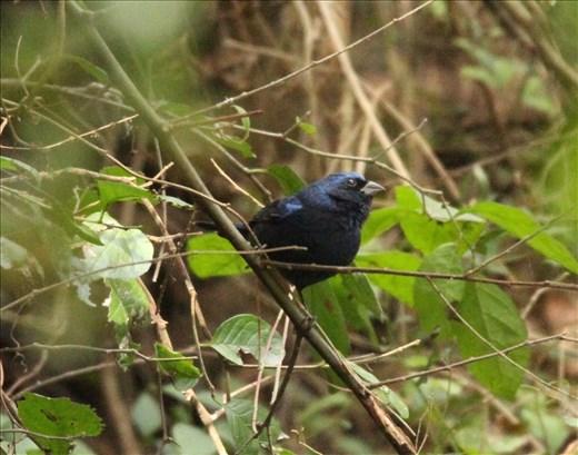 Blue Bunting, La Frontiera, Brownsville