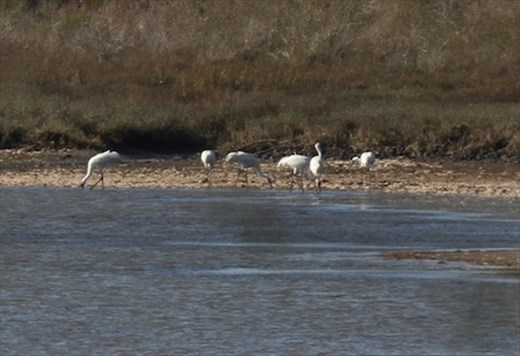 Six of 440 wild whoopers in the world, Aransas National Wildlife Sanctuary