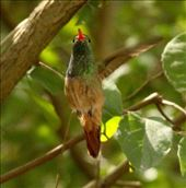 Buff-bellied hummingbird, La Frontiera, Brownsville: by vagabonds3, Views[148]