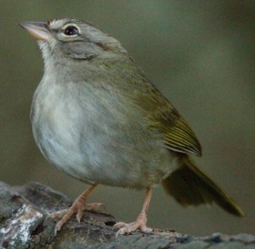 Olive sparrow, Sabal Palma, Brownsville