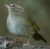 Olive sparrow, Sabal Palma, Brownsville: by vagabonds3, Views[158]