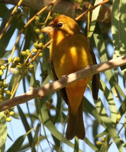 Summer tanager, Resaca de la Palma, Brownsville