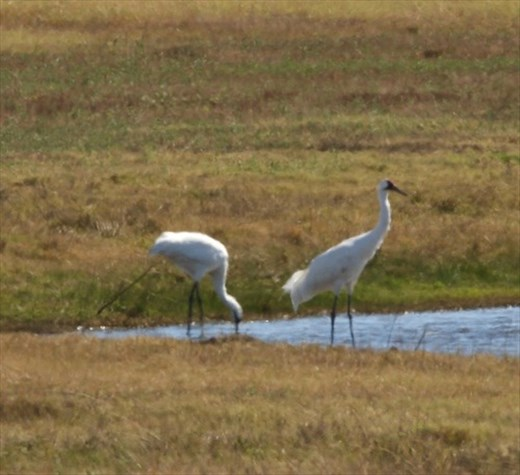 Whooping cranes, Goose Island State Park