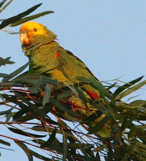 Yellow-headed parrot, Oliviera City Park, Brownsville