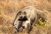 Giant anteater, Karanambo: by vagabonds3, Views[275]