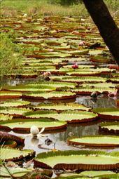 Amazon lillies, Karanambo: by vagabonds3, Views[27]