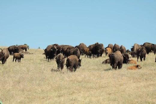 Bison herd, Custer SP, South Dakota