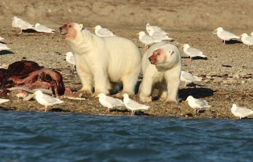 Feasting on dead beluga whales, Conningham Bay