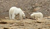 Mother polar bear and cub, Pond Inlet: by vagabonds3, Views[94]
