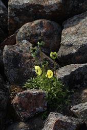 Arctic poppies: by vagabonds3, Views[109]