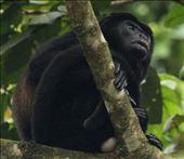 Howler monkey: by vagabonds3, Views[126]