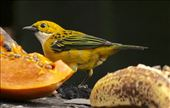 Silver-throated Tanager: by vagabonds3, Views[90]