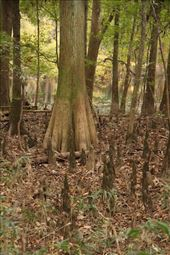 Bald Cypress swamp, Congaree National Park: by vagabonds3, Views[87]