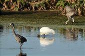 Great blue heron, wood stork and sandhill cranes; Circle Bar B Ranch: by vagabonds3, Views[337]