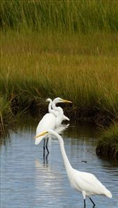 Great and snowy egrets, Ding Darling National Wildlife Sanctuary: by vagabonds3, Views[284]