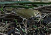 Oven bird, Corkscrew Swamp: by vagabonds3, Views[44]