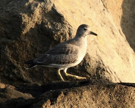 Surfbird, Half Moon Bay