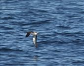 Black-vented shearwater, Channel Islands: by vagabonds3, Views[136]