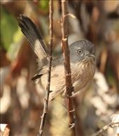Wrentit, Refugio State Park: by vagabonds3, Views[146]