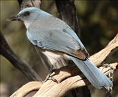 Mexican Jay: by vagabonds3, Views[133]